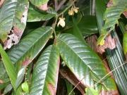 Guatteria amplifolia Flower Leaf
