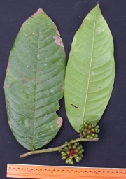 Guatteria amplifolia Fruit Leaf