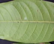 Guatteria amplifolia Leaf