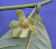 Guatteria diospyroides Flower