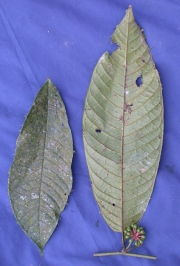 Guatteria diospyroides Fruit Leaf