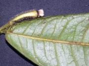 Guatteria dolichopoda Leaf