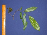Guatteria dumetorum Fruit Leaf
