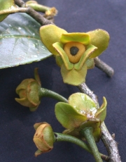 Guatteria jefensis Flower