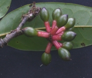 Guatteria jefensis Fruit