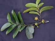 Guatteria jefensis Flower Leaf