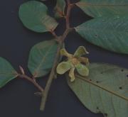 Guatteria recurvisepala Flower