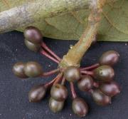 Guatteria recurvisepala Fruit