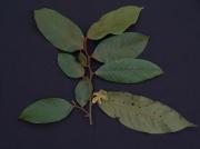 Guatteria recurvisepala Flower Leaf