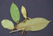 Guatteria recurvisepala Fruit Leaf