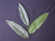 Klarobelia anomala Leaf