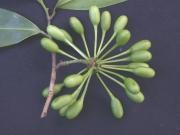Malmea dimera Fruit