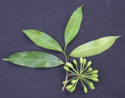 Malmea dimera Fruit Leaf