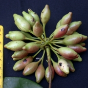 Mosannona garwoodii Fruit