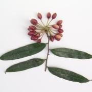 Mosannona garwoodii Fruit Leaf
