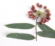 Mosannona garwoodii Leaf