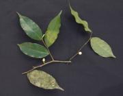 Oxandra longipetala Flower Leaf
