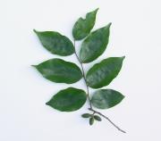 Oxandra longipetala Fruit Leaf