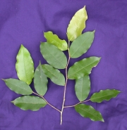 Oxandra longipetala Leaf