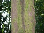 Oxandra panamensis Bark