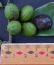 Oxandra panamensis Fruit