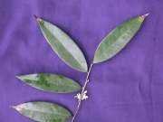 Oxandra panamensis Flower Leaf