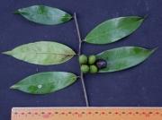 Oxandra panamensis Fruit Leaf