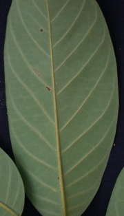 Rollinia pittieri Leaf