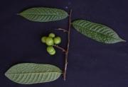 Unonopsis panamensis Fruit Leaf