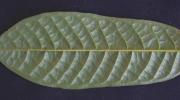 Unonopsis panamensis Leaf
