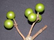 Unonopsis pittieri Fruit