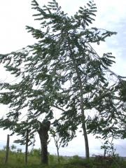 Xylopia aromatica