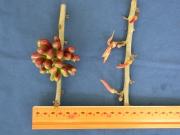 Xylopia aromatica Fruit