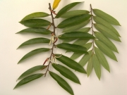 Xylopia aromatica Flower Leaf