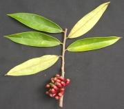 Xylopia aromatica Fruit Leaf