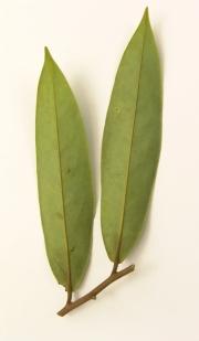 Xylopia aromatica Leaf