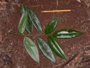 Xylopia bocatorena Leaf