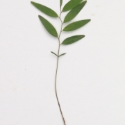 Xylopia frutescens