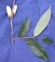 Xylopia macrantha Flower Leaf