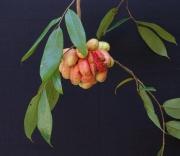 Xylopia macrantha Fruit Leaf