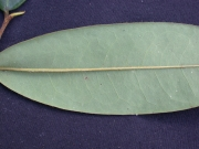 Xylopia macrantha Leaf