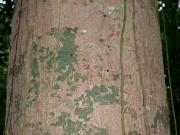 Aspidosperma spruceanum Bark