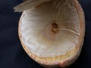 Aspidosperma spruceanum Fruit