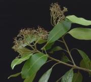 Aspidosperma spruceanum Flower Leaf