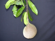 Aspidosperma spruceanum Fruit Leaf