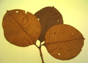 Couma macrocarpa Leaf