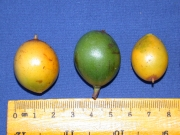 Lacmellea panamensis Fruit