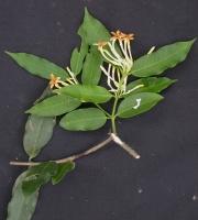Lacmellea panamensis Flower Leaf