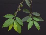Lacmellea panamensis Fruit Leaf