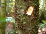Lacmellea panamensis Trunk
